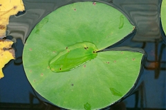 Leaf-of-Blue-waterlily