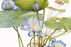 Plant-Illustration-of-Blue-waterlily
