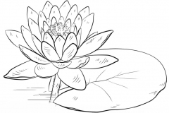 Sketch-of-Blue-waterlily