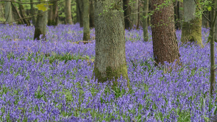 Bluebell-plant-growing-wild