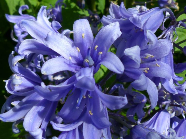 Closer-view-of-Bluebell-flower