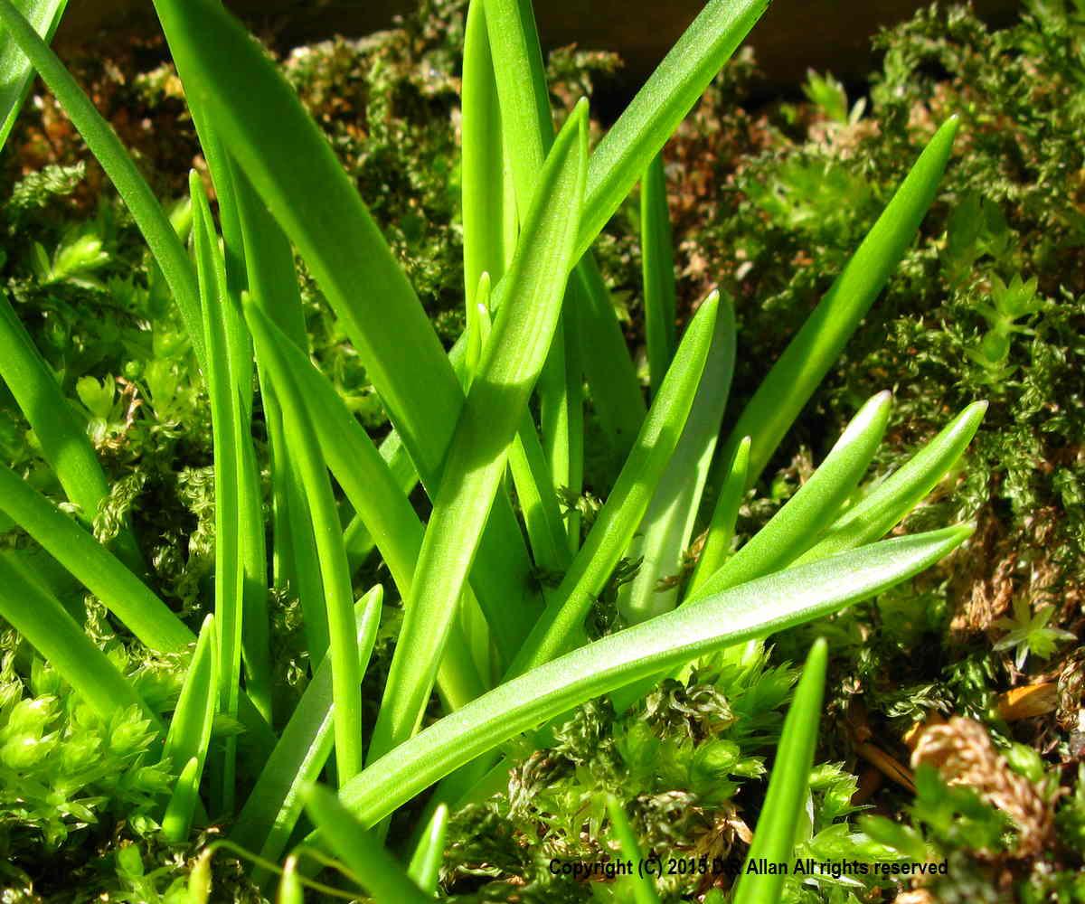 Leaves-of-Bluebell