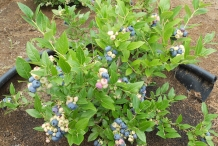 Blueberries-plant