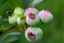 Unripe-Blueberries