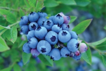Blueberries-fruit