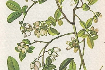 Plant-illustration-of-Blueberries
