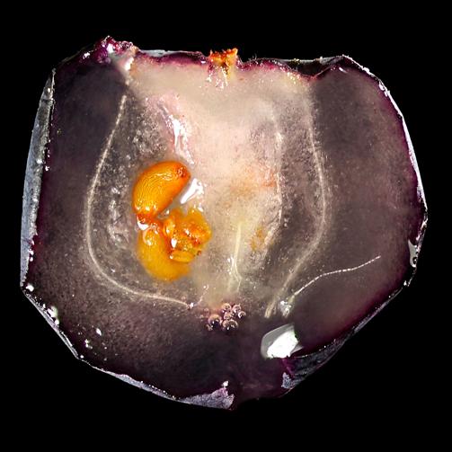 Half-cut-fruit-of-Bog-Bilberry