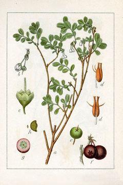Plant-Illustration-of-Bog-Bilberry