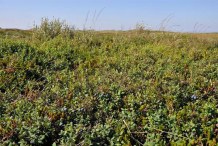 Bog-Bilberry-Plant-growing-wild