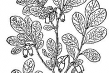 Sketch-of-Bog-Bilberry-plant