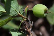 Unripe-Bog-Bilberry-fruit