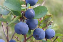 Bog-Bilberry-Fruit