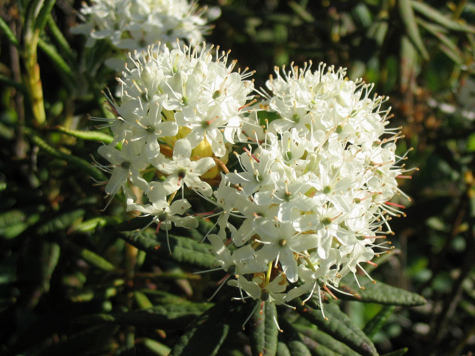 Close-view-of-Bog-Labrador-Tea-flower