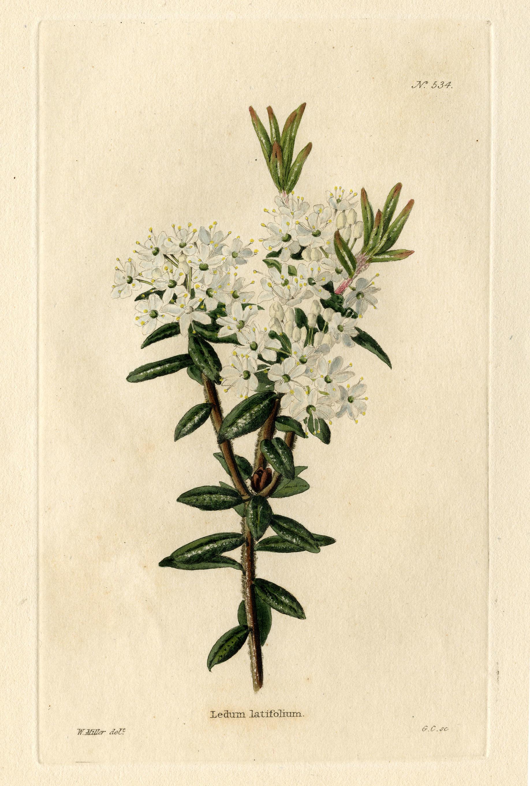 Plant-illustration-of-Bog-Labrador-Tea