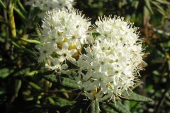 Close-view-of-Bog-Labrador-Tea-flower