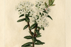 Plant-illustration-of-Bog-Labrador-Tea