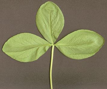 Bogbean-Leaf