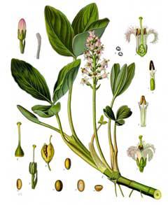 Bogbean-plant-Illustration