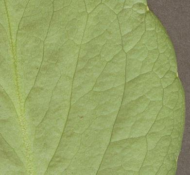 Downside-of-Bogbean-leaf