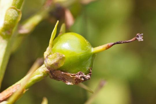 Fruit-of-Bogbean
