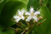 Bogbean-Flower