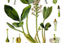 Bogbean-plant-Illustration