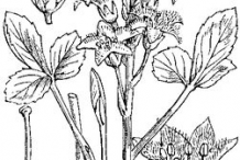 Bogbean-plant-Sketch