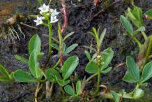 Bogbean-Plant