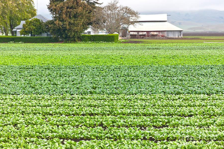 Bok-choy-farm