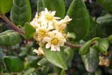 Boldo-Flower