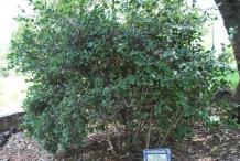Boldo-bushes