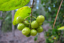 Unripe-Boldo-Fruit