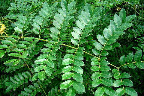 Leaves-of-Bonduc-Nut