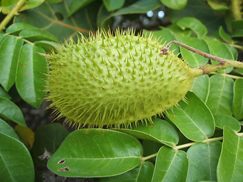 Unripe-Bonduc-Nut