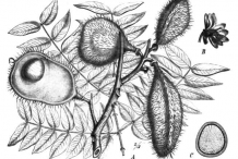 Sketch-of-Bonduc-Nut