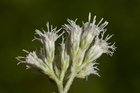 Closer-View-of-Boneset-flower