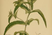 Boneset-plant-Illustration