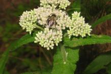 Boneset-Flower