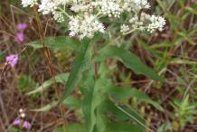 Boneset-Plant