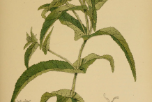 Boneset-plant-Illustration