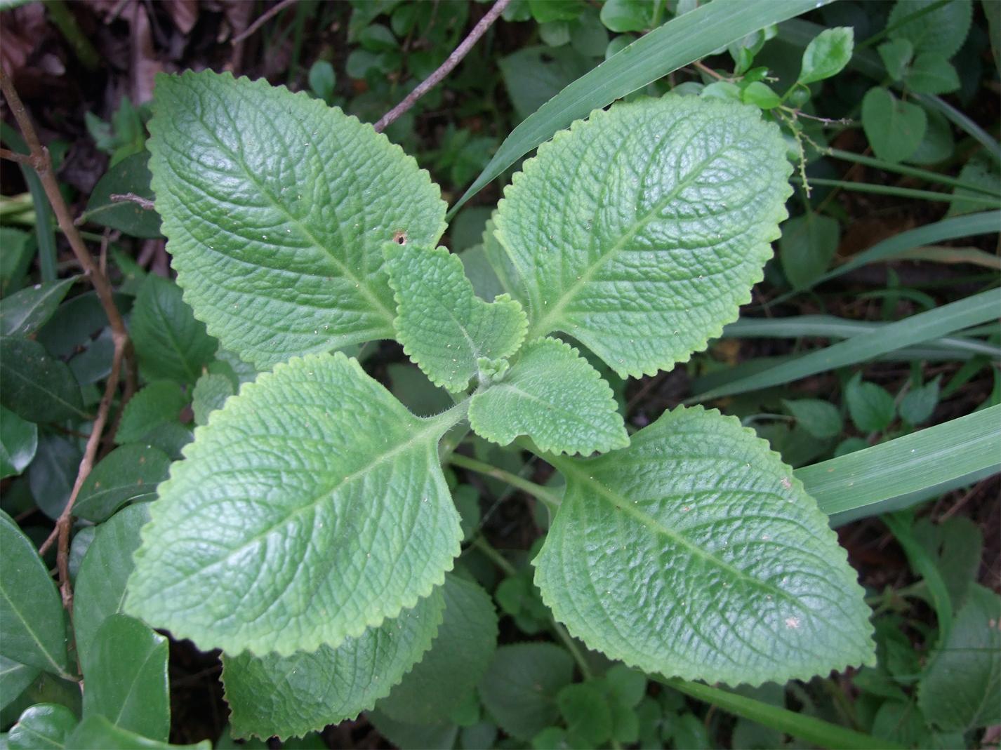 Leaves-of-Borage