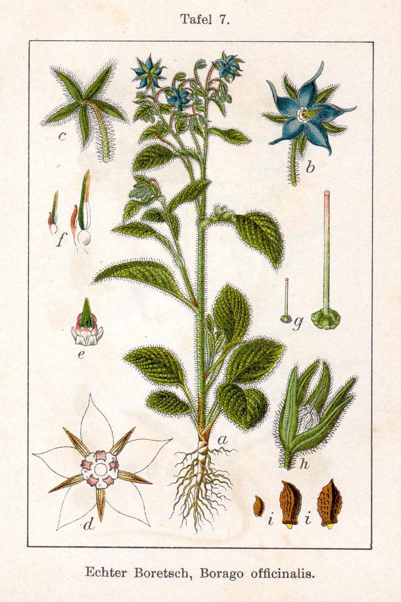 Plant-illustration-of-Borage