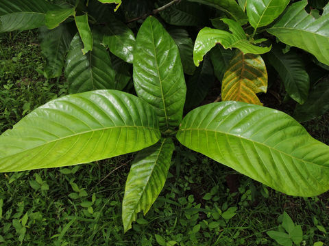 Leaves-of-Borojo