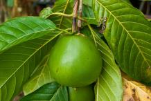 Unripe-Borojo-fruit