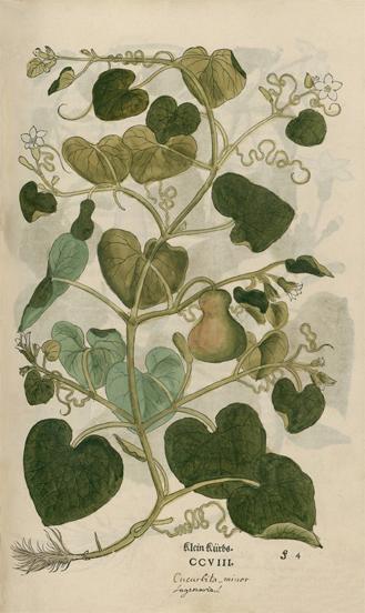 Plant-illustration-of-Bottle-gourd