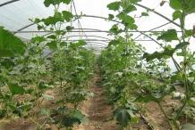 Bottle-gourd-farm