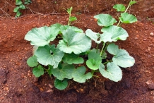Bottle-gourd-plant