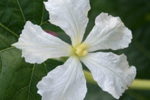 Close-up-flower-of-Bottle-gourd