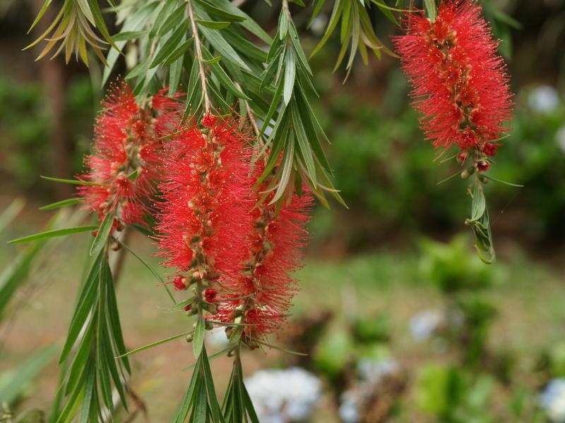 Bottlebrush-flower-Red bottle-brush