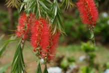 Bottlebrush-flower-Red bottle-brush